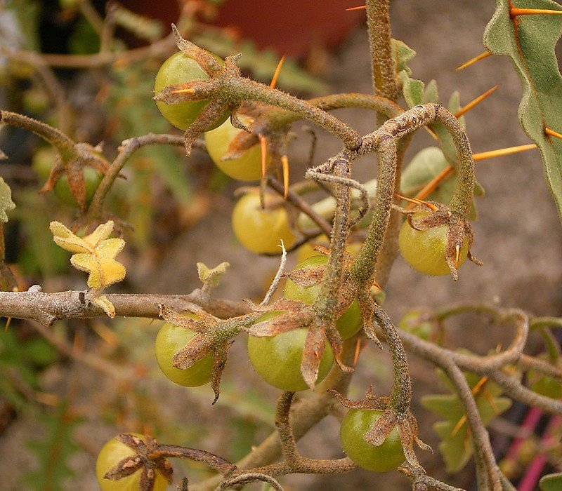Solanum pyracanthum, variedad silvestre de tomate (foto de Wikipedia)