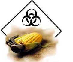 Maíz con el símbolo de peligro biológico